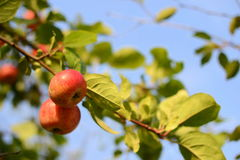 Apples growing on an apple tree branch Stock Photos