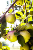 Apples Growing On Branch of Apple Tree Royalty Free Stock Photos
