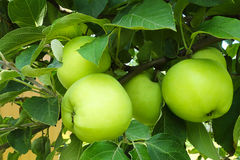 Apples growing on the branch of a tree in the garden. Stock Photos