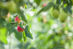 Apples. Growing on the branches Stock Images