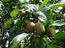 Apples are growing in summer Stock Photography