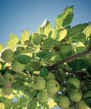 Apple tree. Apples growing on a tree Royalty Free Stock Images