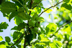 Apple tree. Apples growing on a tree Royalty Free Stock Photography