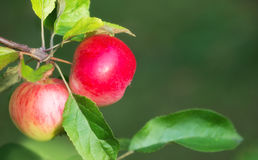 Apples growing on a tree branch. Natural green background with copy space Stock Images