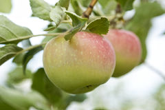 Apples growing in the tree Royalty Free Stock Photography