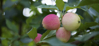 Apples growing on the tree Royalty Free Stock Image