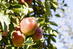 Apples growing on a tree Royalty Free Stock Image