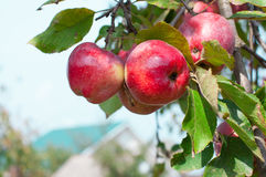 Apples grows on a branch Royalty Free Stock Photography