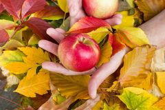 Apples in hands Royalty Free Stock Images