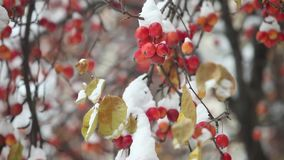 Apples hang on apple tree branches covered snow. Apple orchard, Red apples under snow, unexpected snowfall,Camera movement bottom to top stock footage