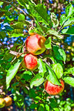 Apples hanging on an apple tree Royalty Free Stock Photo