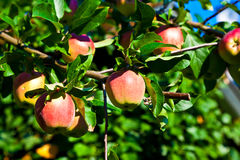 Apples hanging on the apple tree Stock Photography