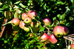 Apples hanging on the apple tree Stock Images