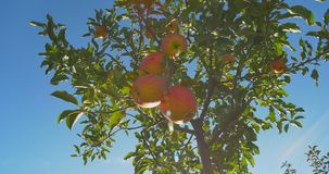 Apples hanging on a tree in the sunlight stock footage