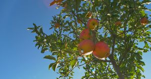 Apples hanging on a tree in the sunlight stock video footage