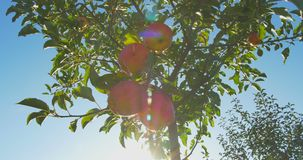 Apples hanging on a tree in the sunlight stock video