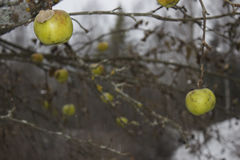 Apples hanging in the cold rain. Apples hanging on a branch in the cold rain Royalty Free Stock Photos
