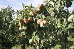 Apples hanging form a tree Stock Image