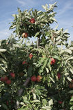 Apples hanging form a tree Stock Photo