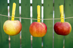 Apples hanging on the rope to dry and green yard Stock Photo