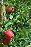 Apples hanging from a tree. Royalty Free Stock Photography