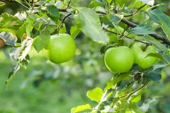 Apples hanging from a tree branch in an apple orchard royalty free stock photography