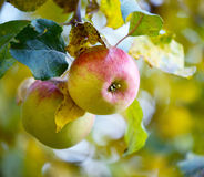 Apples hanging on tree Royalty Free Stock Photo