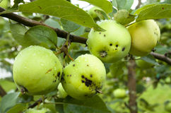Apples hanging on a tree. After the rain Royalty Free Stock Images