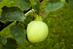 Apples hanging on a tree. After the rain Royalty Free Stock Photos