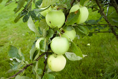 Apples hanging on a tree. After the rain Stock Photos