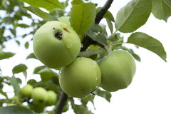 Apples hanging on a tree. After the rain Royalty Free Stock Image