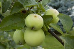 Apples hanging on a tree. After the rain Stock Photo