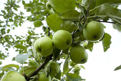 Apples hanging on a tree. After the rain Stock Images