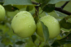Apples hanging on a tree. After the rain Royalty Free Stock Photography