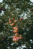 Apples hanging on tree. royalty free stock image