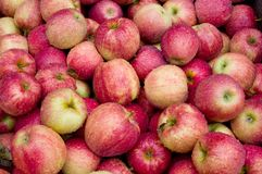 Apples after the harvest. Freshly picked apples after a rain Royalty Free Stock Photography