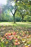 Apples harvest Royalty Free Stock Images