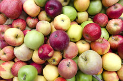 Apples at Harvest Royalty Free Stock Images