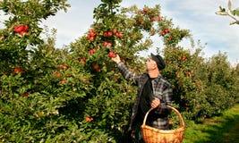 Apples harvest. Man picking apples  in the garden Stock Photo