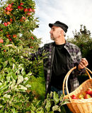Apples harvest. Man picking apples  in the garden Royalty Free Stock Photos