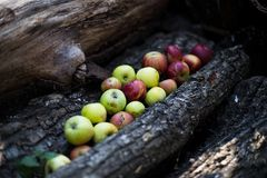 Apples. Harvest of ripe apples from the garden Royalty Free Stock Photo
