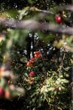 Apples. Harvest of ripe apples from the garden Stock Photography