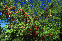 Apples Harvest Time. These ripe and red apples are ready to harvest Royalty Free Stock Images