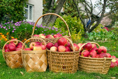 Apples harvest. Willow baskets with apples on a green lawn near the rural house. Concept of a autumn harvest Stock Photography