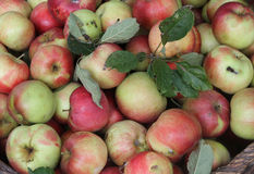 Apples. Harvested healthy organic unsprayed apples Royalty Free Stock Photography