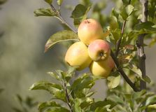Golden Apples are harvested in large scale in Himachal Pradesh India royalty free stock photo