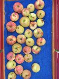 Apples harvested and placed in red wagon. Harvested Apples on blue background looking down Stock Image