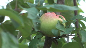 Apples. HD 1920x1080 close up shot of apple on apple-tree stock video footage