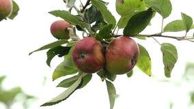 Apples stock video