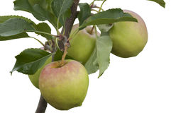 Apples Isolated Royalty Free Stock Photos